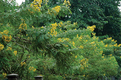 Drooping Cassia / Crown of Gold Tree(Senna spectabilis)